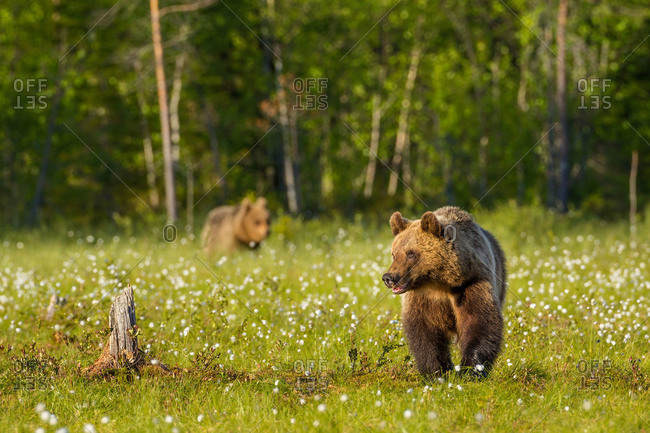 Brown bears walk in to a field