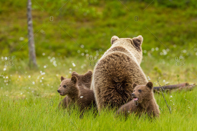 Eurasian brown bear cubs and their mother in a field