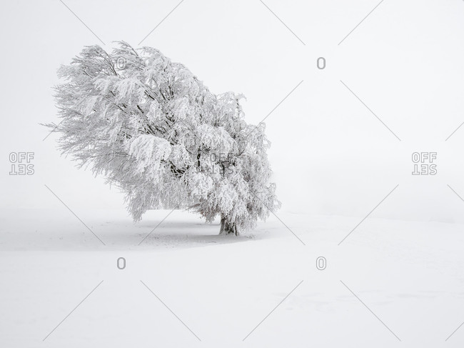 Beech tree in winter in Schauinsland, Black Forest, Germany