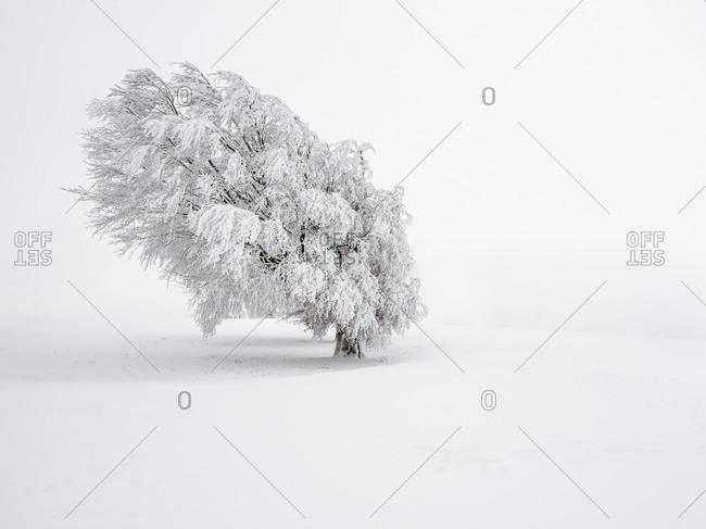 Beech tree in winter in Schauinsland, Black Forest, Germany