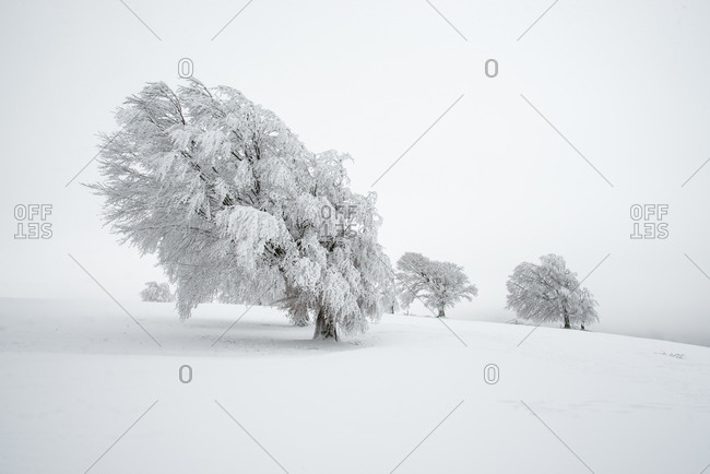 Snow covered beech trees in Schauinsland, Black Forest, Germany