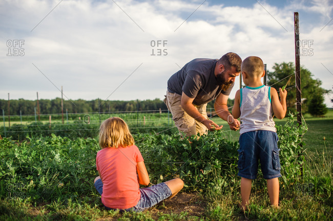 Children picking snap peas with their father