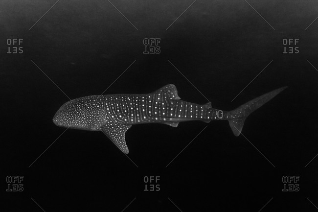 A whale shark swims in dark waters