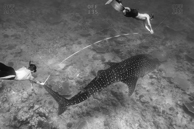 Divers measure a whale shark