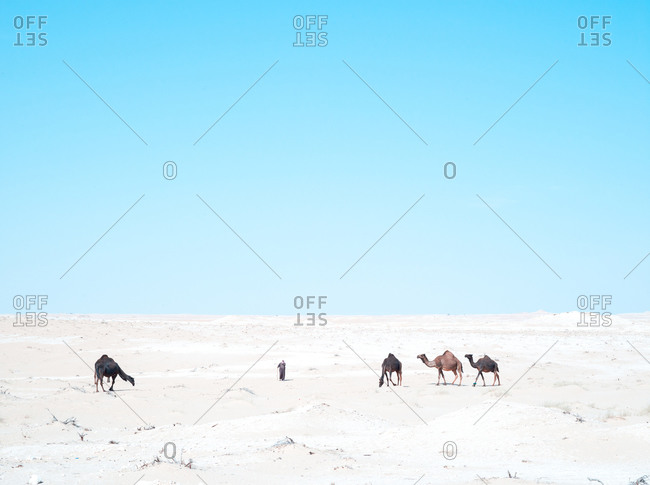 A herder and camels in the desert, Saudi Arabia