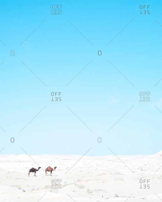 Two camels in the desert, Saudi Arabia