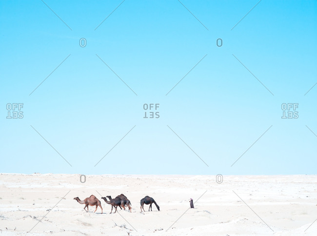 A herder walks with camels in the desert, Saudi Arabia
