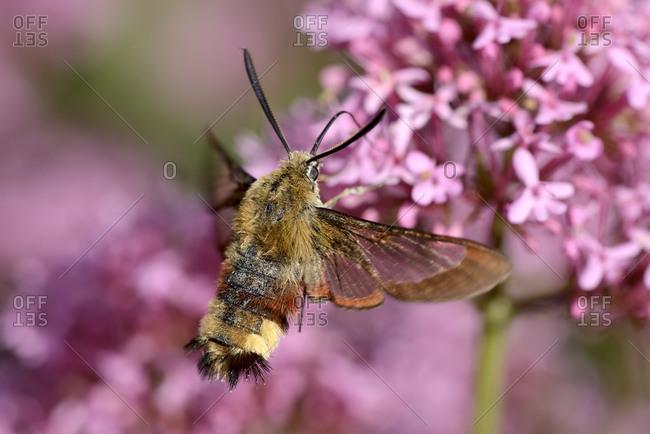Broad-bordered Bee Hawk-moth, Hemaris fuciformis, on flower