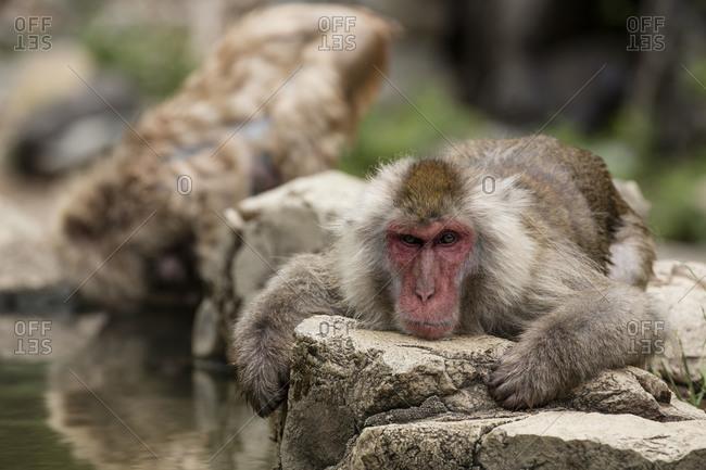 Snow monkey lying on rock next to hot spring