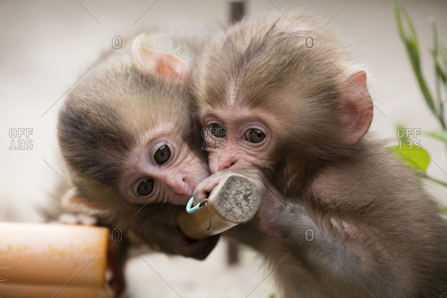 Two baby snow monkeys playing with broom handle
