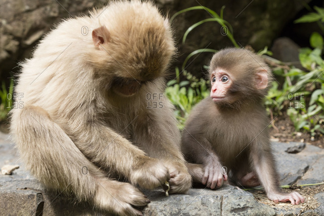 Six week old snow monkey watches its mother