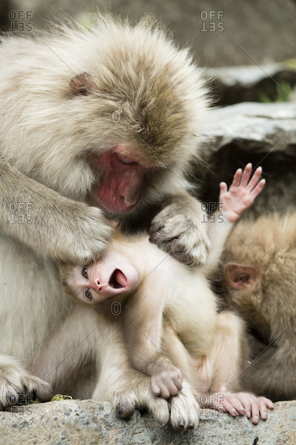 Snow monkey grooming a protesting baby monkey