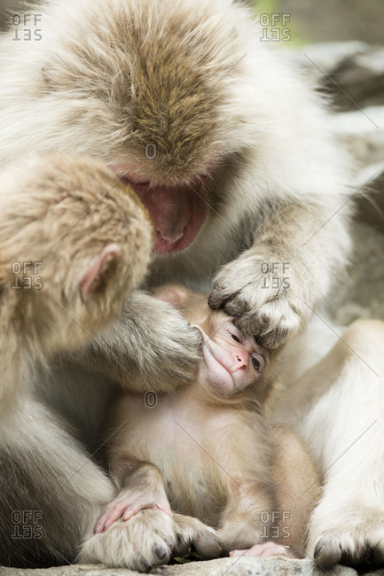 Baby snow monkey tolerates being groomed by other monkeys