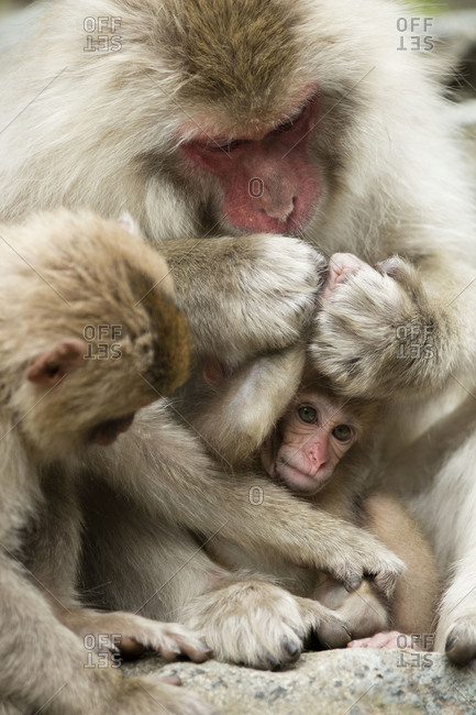 Baby snow monkey being groomed by two older monkeys