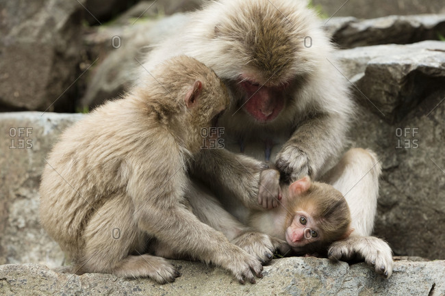 Baby snow monkey is groomed by two older monkeys