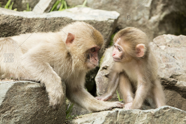 Baby snow monkey with another young monkey on rocks