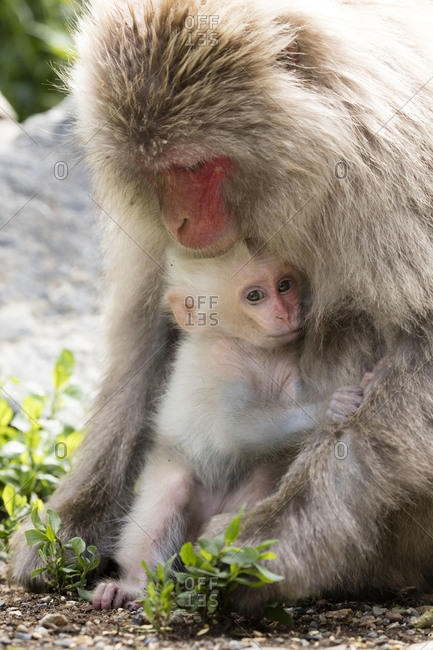 White baby snow monkey clinging to its mother