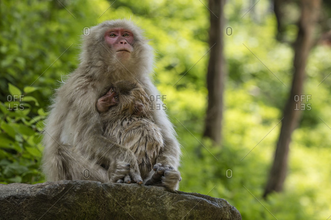 Young snow monkey with its mother