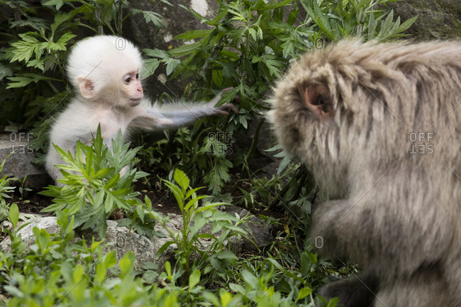 White baby snow monkey forages with its mother