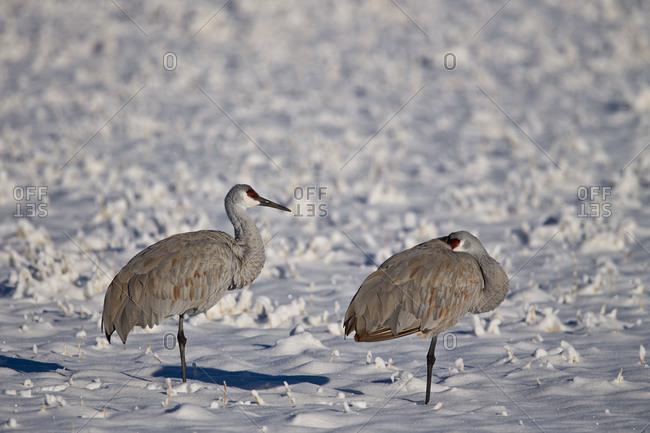 Two sandhill crane (Grus Canadensis) in the snow, Bosque del Apache National Wildlife Refuge, New Mexico, United States of America, North America