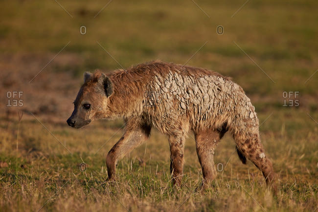 Spotted hyena (spotted hyaena) (Crocuta crocuta), Ngorongoro Crater, Tanzania, East Africa, Africa