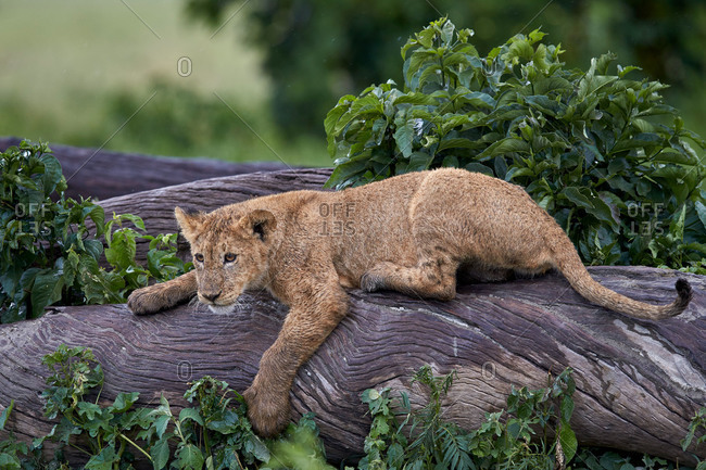Lion (Panthera Leo) cub on a downed tree trunk in the rain, Ngorongoro Crater, Tanzania, East Africa, Africa