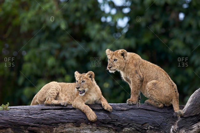 Lion (Panthera Leo) cubs on a downed tree trunk in the rain, Ngorongoro Crater, Tanzania, East Africa, Africa