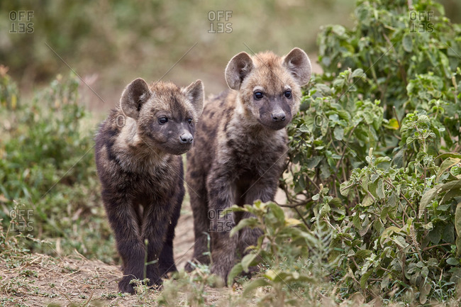 Two spotted hyena (spotted hyaena) (Crocuta crocuta) pups, Ngorongoro Conservation Area, Serengeti, Tanzania, East Africa, Africa
