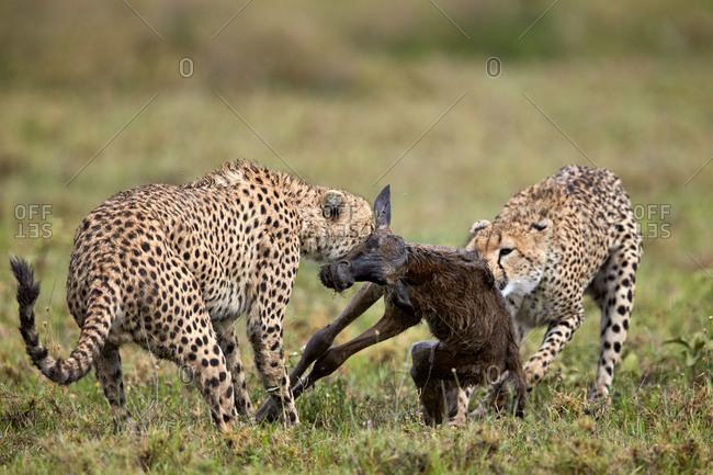 Two male cheetah (Acinonyx jubatus) killing a new born blue wildebeest (brindled gnu) (Connochaetes taurinus) calf, Ngorongoro Conservation Area, Serengeti, Tanzania, East Africa, Africa