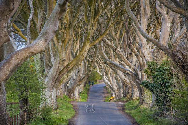 The Dark Hedges in Northern Ireland, beech tree avenue, Northern Ireland, United Kingdom, Europe