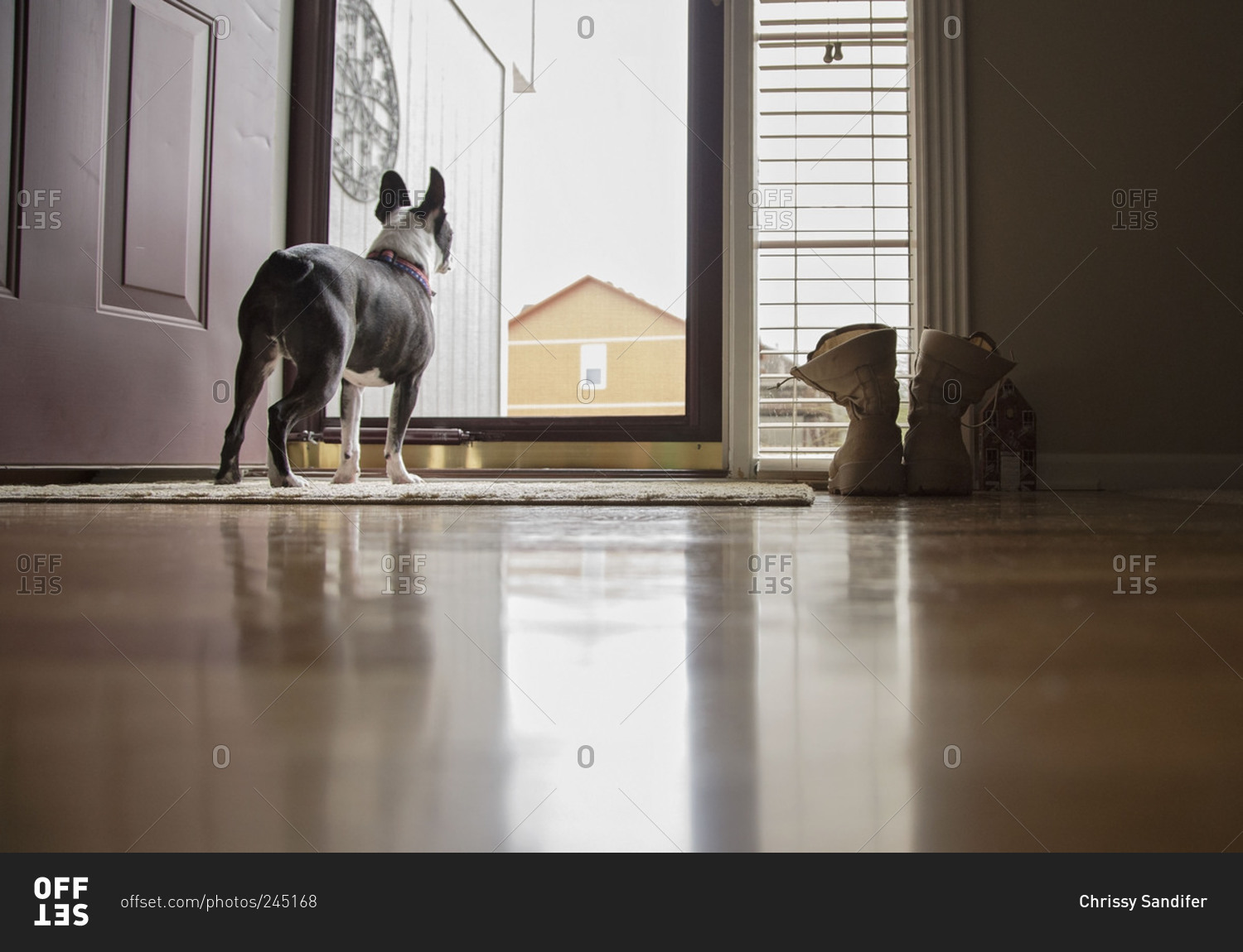 Dog At The Front Door Staring Out Stock Photo Offset