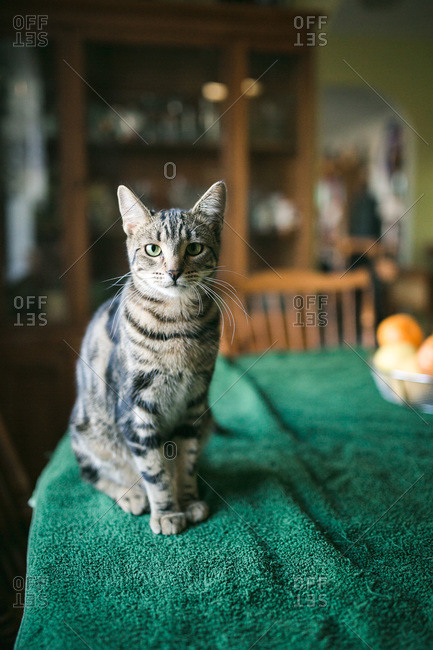 Tabby cat sitting on kitchen table