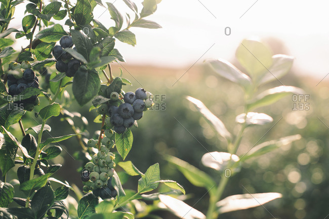 Close-up of a bush of blueberries