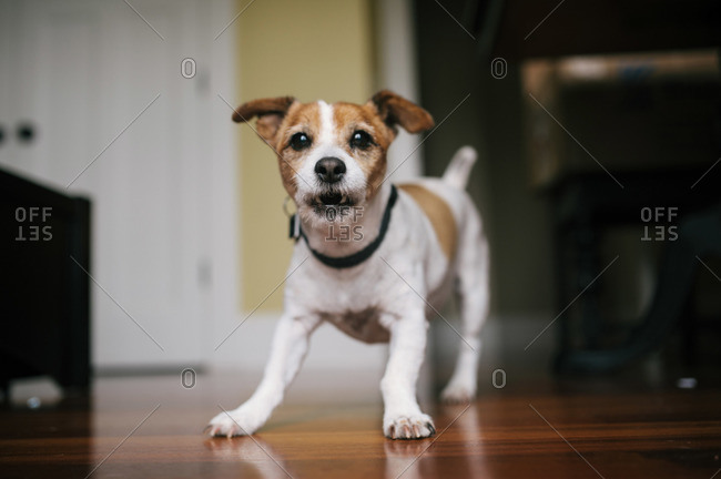 Portrait of a playful terrier dog