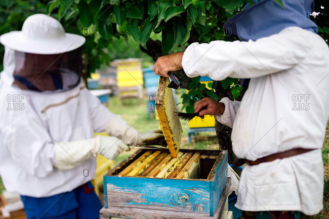 Beekeepers removing bees from hive