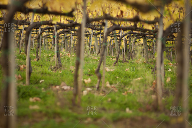 Close up of vines in a Tuscan vineyard