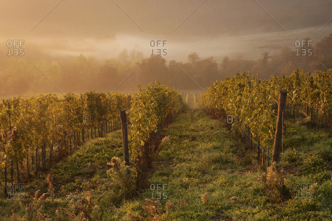 Morning light over the vines in a Tuscan vineyard in autumn