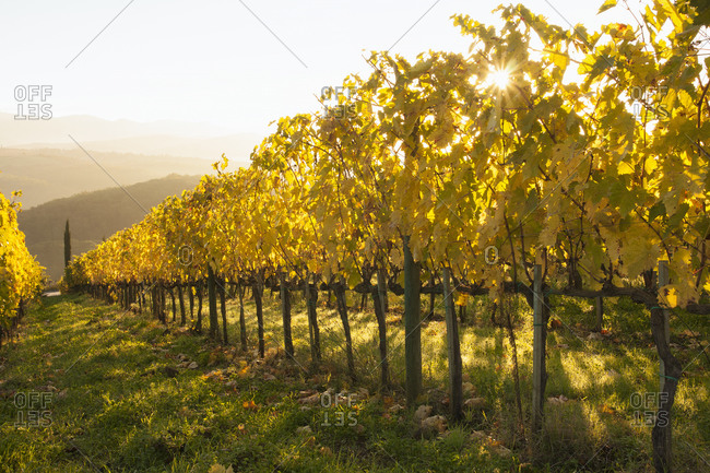 Morning sun shines through a Tuscan vineyard in autumn