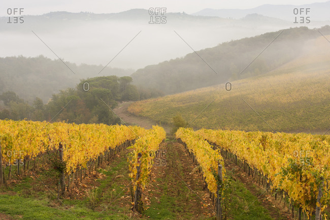 View across a Tuscan vineyard in autumn fog rising and mountains in the distance