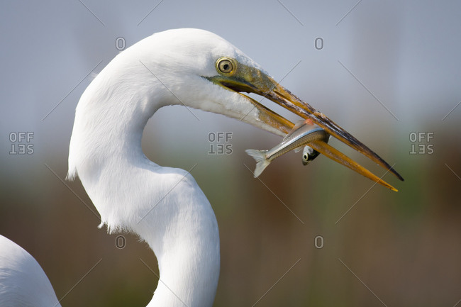 Close up of a Great Egret with a fish in his beak