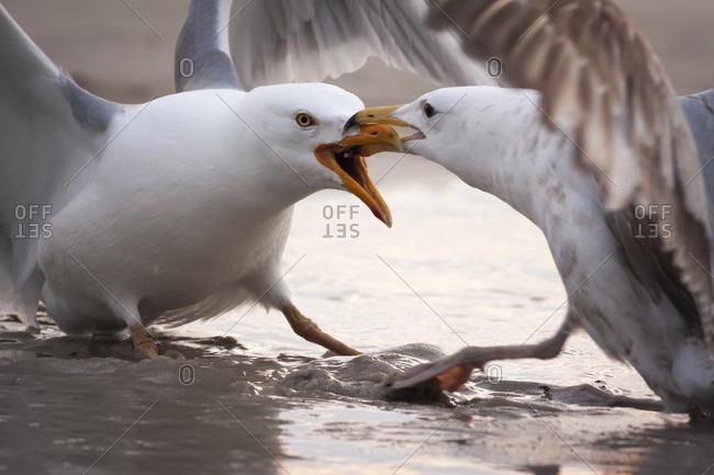 Two territorial Gulls fighting