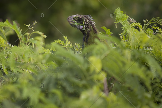 Green Iguana hidden in lush foliage