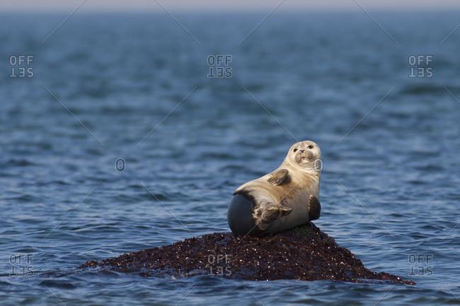 Harbour Seal resting on a rock in ocean