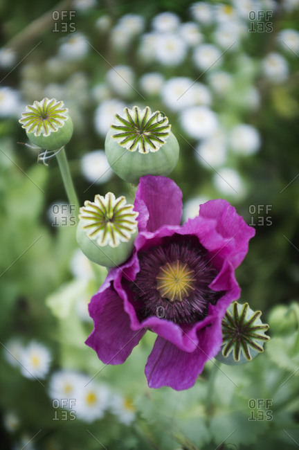Above view of a large purple flowering poppy Papaver somniferum