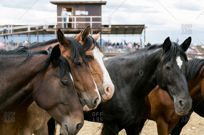 Horses at a rodeo - Offset