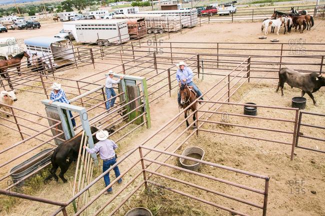 Taos, New Mexico, USA - June 28, 2015: Men moving a bull through a chute