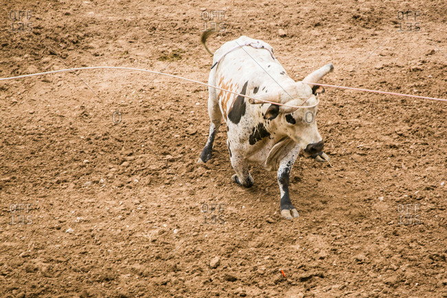 Roped bull at a rodeo