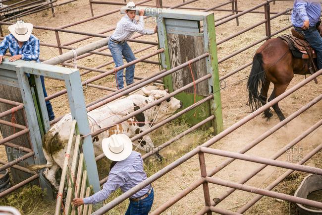 Taos, New Mexico, USA - June 28, 2015: Men guiding a bull through a chute