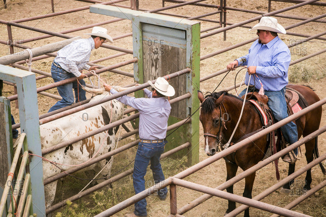 Taos, New Mexico, USA - June 28, 2015: Men roping a bull in a chute