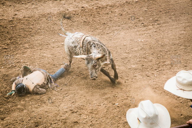 Taos, New Mexico, USA - June 28, 2015: Fallen bull rider and bull